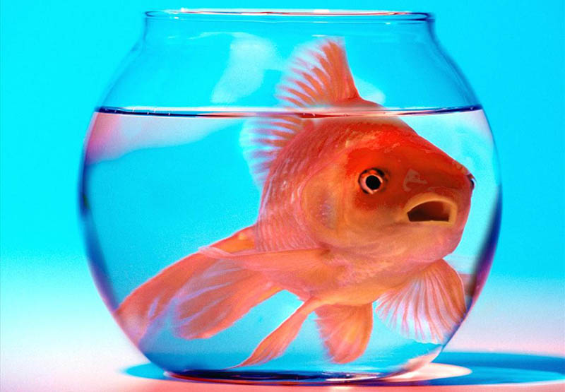 homme moins attentif poisson rouge smartphone
