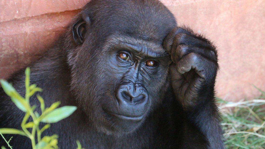 google photos gorille