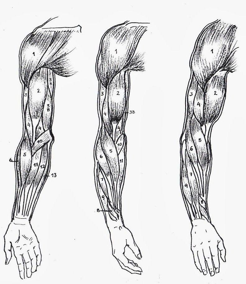 Vue anatomique d'un bras