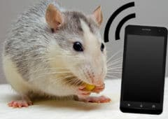 smartphone ondes rats