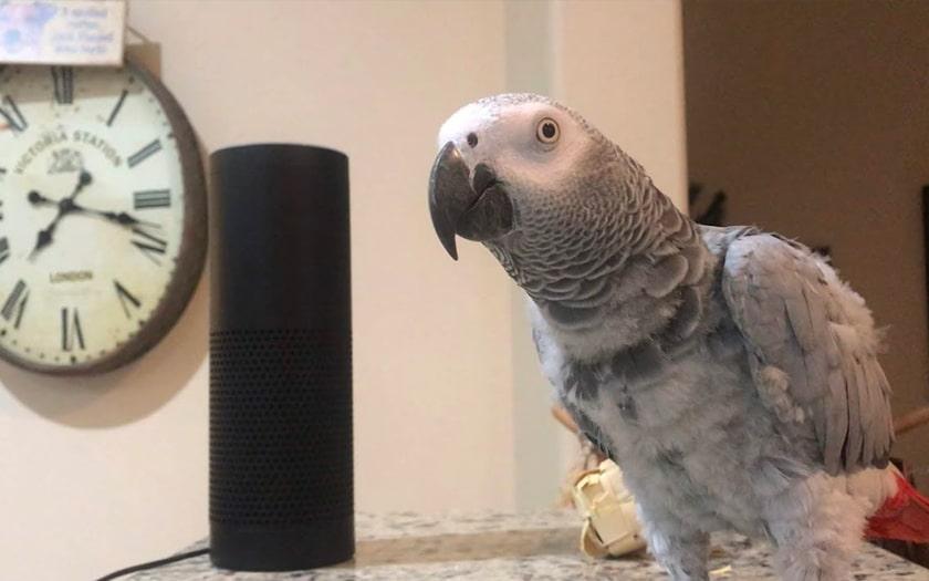 Petra le perroquet qui commande Alexa