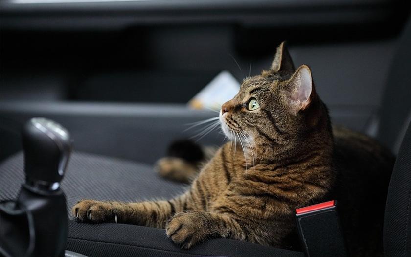 Un chat dans une voiture