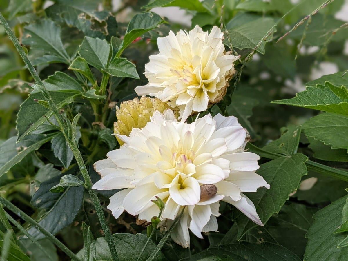 Photo prise avec le Pixel 4a 5G fleurs blanches