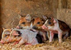 huawei cochons